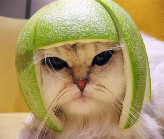 Cat in helmet